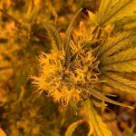 Pentru ce sa consumi flori canabis